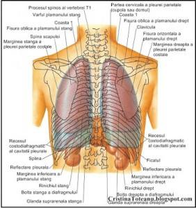 Anatomia.Corpului.Uman. (25)