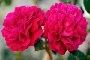 trandafiri-damasc