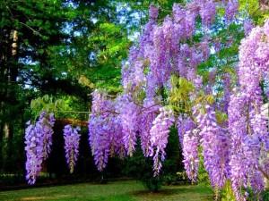 flori-de-salcam-pentru-cunoscatori_4c063799380099